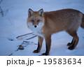 雪上に佇むキタキツネ 19583634