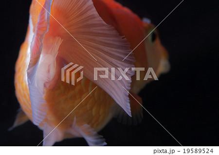 金魚 19589524