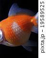 金魚 魚 観賞魚の写真 19589525