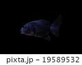 金魚 19589532