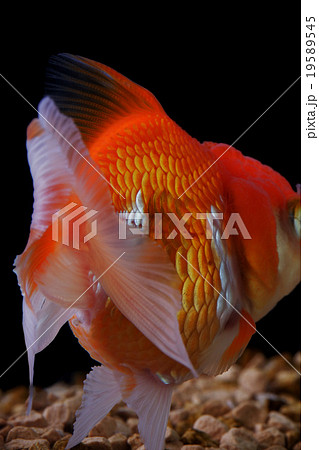 金魚 19589545
