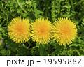 タンポポの花 19595882