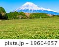 【静岡県】富士山と茶畑 19604657