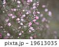 花 魚柳梅 咲くの写真 19613035