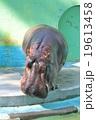 カバ(帯広市動物園) 19613458