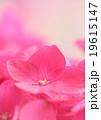 pink hydrangea 19615147