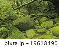 6月初夏 屋久島の苔むす森ー白谷雲水峡の原生林 19618490