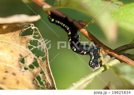 生き物 昆虫 ヒメエグリバ、黒地に赤黄の斑点が目立つ幼虫。成虫は地味な姿になります 19625834
