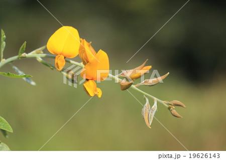 自然 植物 コブトリソウ、植えるだけで植物に寄生する線虫の駆除や肥料として利用できる農家の強い味方 19626143