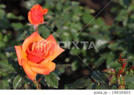 リメンバーミー・バラの花 19636805