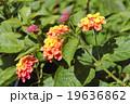 クマツヅラ科 七変化 ランタナの写真 19636862