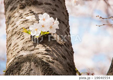 木の幹から花を咲かせる桜 19640554