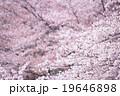 ソメイヨシノ そめいよしの 桜の画像素材 お花見 春の花 ピンク色の花 背景用合成素材 19646898