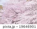 ソメイヨシノ そめいよしの 桜の画像素材 お花見 春の花 ピンク色の花 背景用合成素材 19646901