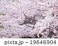 ソメイヨシノ そめいよしの 桜の画像素材 お花見 春の花 ピンク色の花 背景用合成素材 19646904