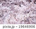 ソメイヨシノ そめいよしの 桜の画像素材 お花見 春の花 ピンク色の花 背景用合成素材 19646906