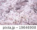 ソメイヨシノ そめいよしの 桜の画像素材 お花見 春の花 ピンク色の花 背景用合成素材 19646908