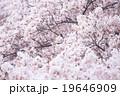 ソメイヨシノ そめいよしの 桜の画像素材 お花見 春の花 ピンク色の花 背景用合成素材 19646909