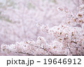 ソメイヨシノ そめいよしの 桜の画像素材 お花見 春の花 ピンク色の花 背景用合成素材 19646912