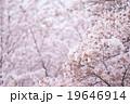ソメイヨシノ そめいよしの 桜の画像素材 お花見 春の花 ピンク色の花 背景用合成素材 19646914