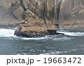 凍てつくアラスカ湾の岩礁に憩うトドのコロニー 19663472