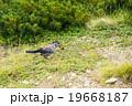 ホシガラス 鳥 カラスの写真 19668187