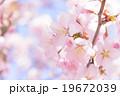 桜(ふんわり) 19672039