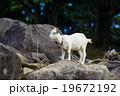 山羊のポートレート 19672192
