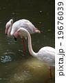 フラミンゴ 19676039