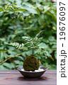 苔盆栽 19676097