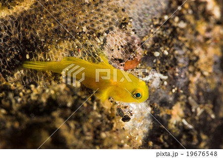 Yellow Coralgoby with  their eggs