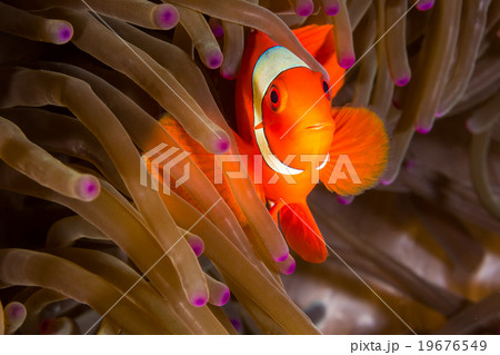 Maroon Clownfish in Anemone