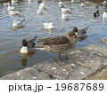 稲毛海浜公園に飛来したオナガガモとユリカモメ 19687689