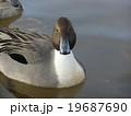 稲毛海浜公園に飛来したオナガガモ 19687690