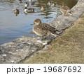 稲毛海浜公園に飛来したオナガガモ 19687692
