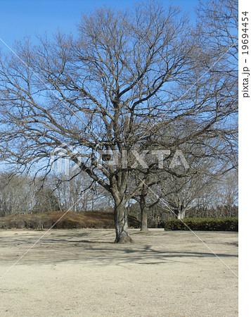 昭和の森のクヌギの大木の冬の姿 19694454