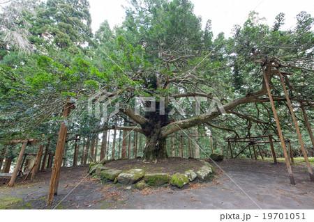 真山神社 榧の木 秋田県天然記念物 19701051