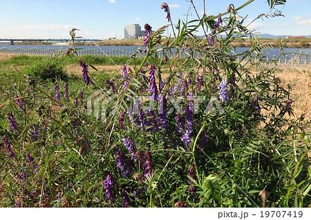 野の花「草藤」クサフジ:春の花、淀川河川敷№5 19707419