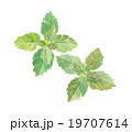 ペパーミント 植物 イラストのイラスト 19707614
