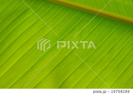closeup of banana leaf texture (background)