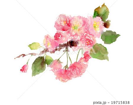 イラスト 八重桜 19715838