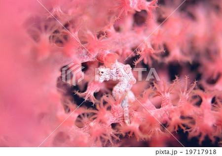 ピグミーシーホース 沖縄 19717918