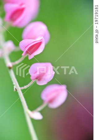 ピンクの花 19719181