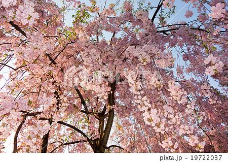 青森県弘前公園の弘前枝垂れ桜19722037