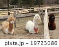 3頭のアルパカ 19723086