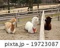3頭のアルパカ 19723087
