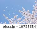 桜 桜吹雪 舞い散るの写真 19723634