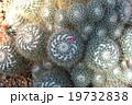 サボテン 白玉兎 白珠丸の写真 19732838