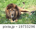 ライオン 19733296