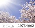 Sakura and sunlight 19734002